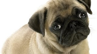 О породе собак - Мопс(Это одна из старейших пород. Люди любят