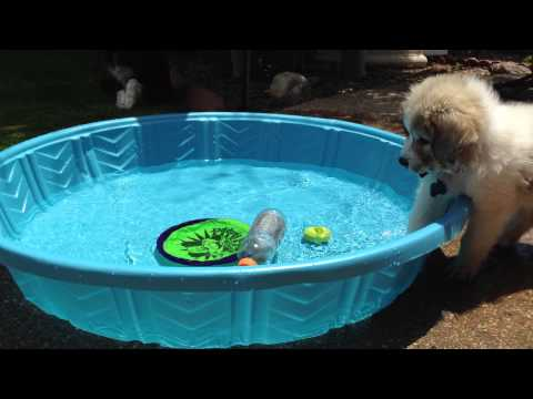 Great Pyrenees puppy first time in the pool