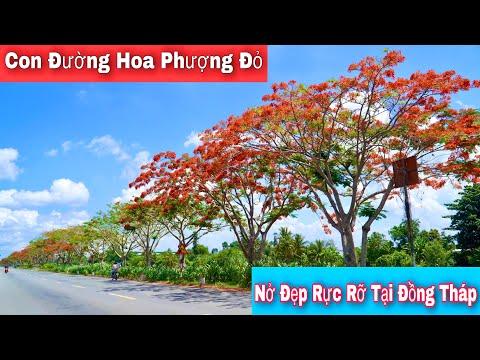 Con đường Hoa phượng đỏ nở rực rỡ báo hiệu mùa hè tại Lấp Vò tỉnh Đồng Tháp | Khương nhựt minh