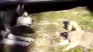 Kangal Baby Dog against other big dog