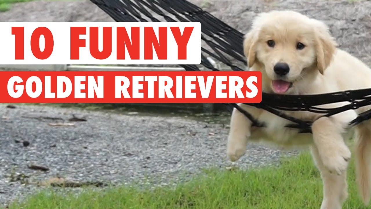 10 Funny Golden Retriever Videos Awesome Golden Retriever