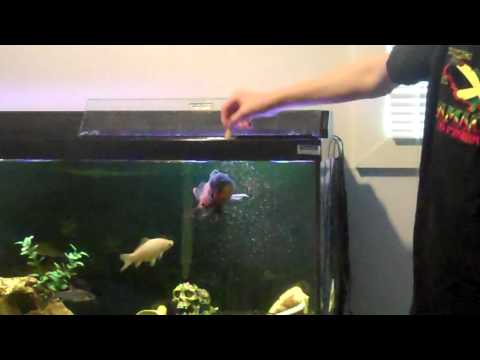 Oscar Fish Jumping