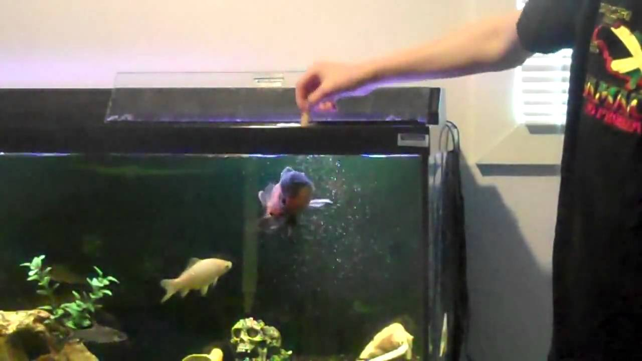 Freshwater fish jumping - Freshwater Fish Jumping
