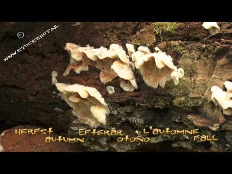 platte tonderzwam - Ganoderma applanatum - Artist's Bracket