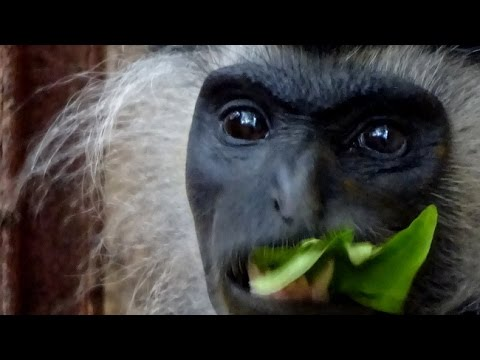 A visit to the Colobus Conservation Trust in Kenya to see these fascinating monkeys