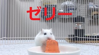ハムスター☆かわいいひんやりゼリー♪(ジャンガリアンおもしろ動画)で...
