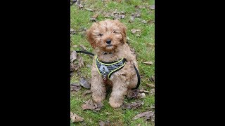 Mylo - 11 Week Old Cavapoo Puppy - 1 Week Socialisation & 2 Weeks Residential Training