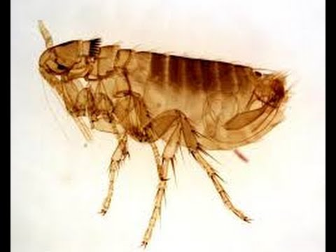 How to get rid of fleas forever. Easy DIY flea / pest control. nylar IGR. Insect growth regulator.