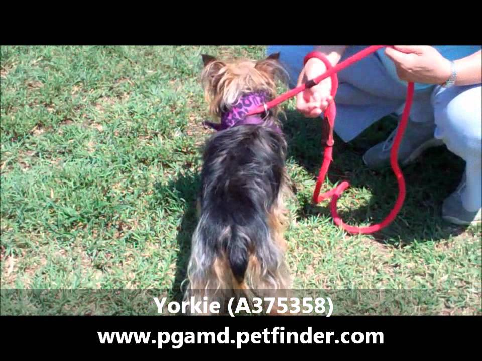 A Great 1 Yr Old Female Yorkie A375358 Youtube