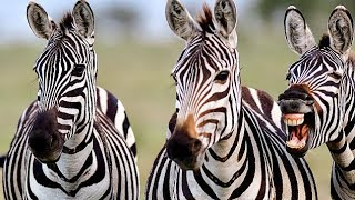 Zebra 'bursts out laughing' when an American tourist takes its photo