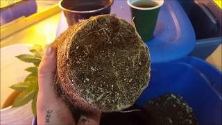 My Cheap Grow Room Ep14 - The bigger the roots the bigger the friuts ....