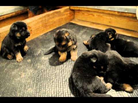 3 Week Old German Shepherd Puppies Youtube
