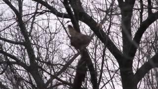 Video Great Horned Owls Mating December 25, 2013 (First Time) download MP3, 3GP, MP4, WEBM, AVI, FLV November 2017