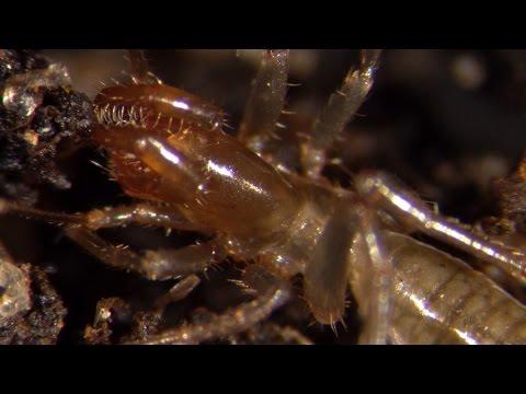Bizarre tiny arachnids: the Schizomida - YouTube