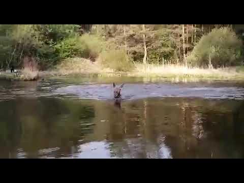 Жара на Урале. Лось купается в реке рядом с туристами