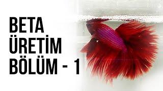 Beta Üretim Serisi - Bölüm - 1 - Erkek ve Dişi Beta Balığı Seçildi