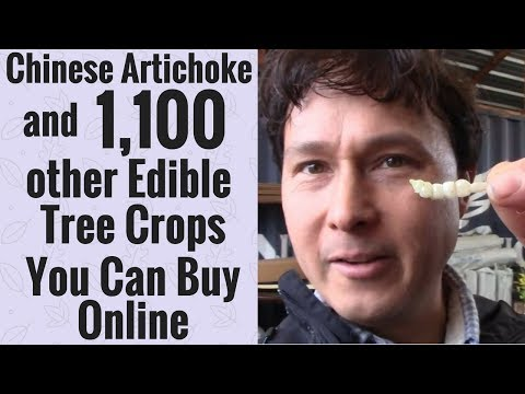 Chinese Artichoke & 1,100 other Edible Tree Crops You Can Buy Online