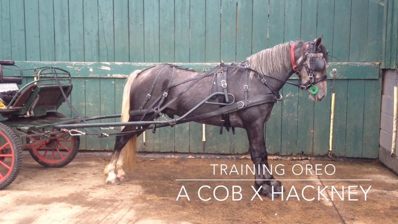Training Oreo - a High Stepping Cob X Hackney