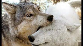 Как метис волка нашёл свою вторую половинку! История любви со счастливым концом…