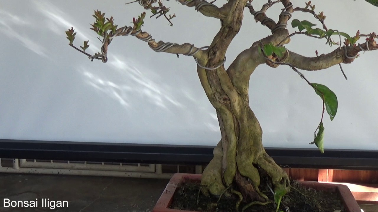 a day in the life of bonsai iligan crepe myrtle update feb 2017 rh youtube com Bonsai Wiring Techniques Bonsai Silhouette