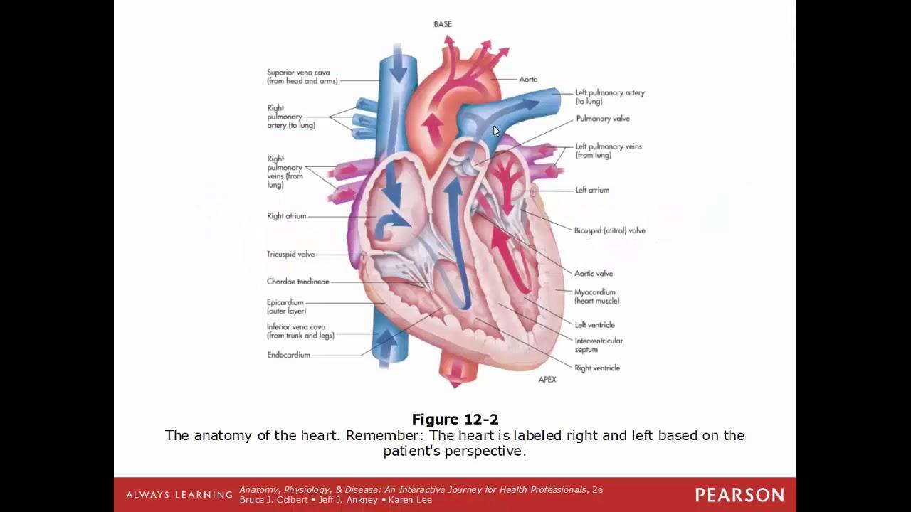 SCI 201 Anatomy & Physiology Crash Course ch12 - YouTube
