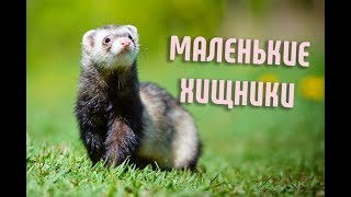 Маленькие хищники | Ласка, Горностай, Куница, Хорек, Харза