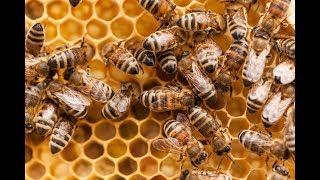 Honey Bees Making Honey!!!! Live Now