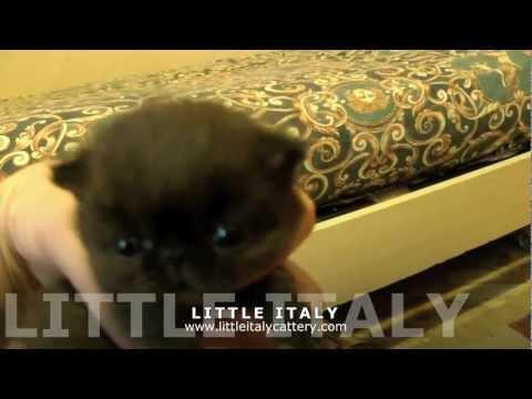 Gatti Exotic Shorthair: Cuccioli Disponibili
