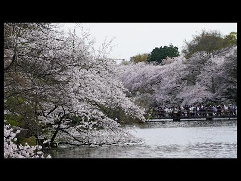Hanami Cherry Blossom Picnic in Tokyo