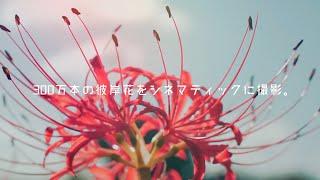 300万本の彼岸花をシネマティックに撮影してみた。|A cinematic video of cluster amaryllis.【半田市矢勝川堤の彼岸花】