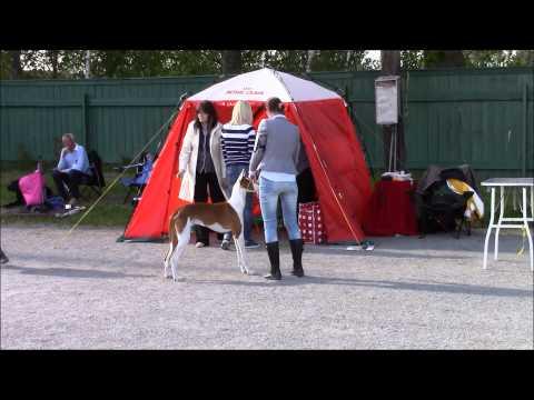 Dog show Enköping SHK 2015 05 23 Ibizan Hound / Podenco Ibicenco