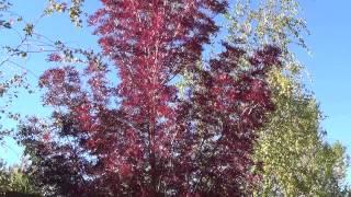 Raywood Ash in Autumn color - Fraxinus oxycarpa