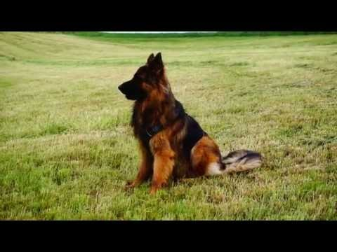 Play and Hike with my Longcoat German Shepherd