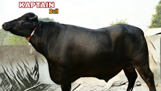 All clip of best murrah bull   BHCLIP COM