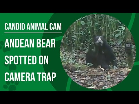 What is a spectacled bear? Candid Animal Cam takes us to the Andes
