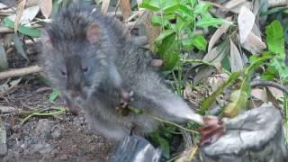 Chuột bự sa bẫy Cò ke...