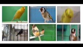 هل تريد تجهيز طيورك وزيادة تغريدهم بسرعة ?