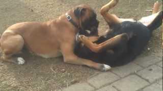 Rottweiler Vs Boxer