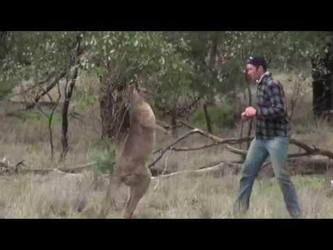 Man punches a kangaroo