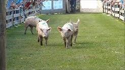 21. Schweinerennen beim Hendlwirt in Kalch - (alle Läufe)