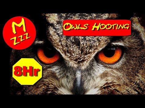 Owls Hooting 8 Hours - ASMR of Owls Hooting - Spend the Night with Owls Hooting - Royalty Free