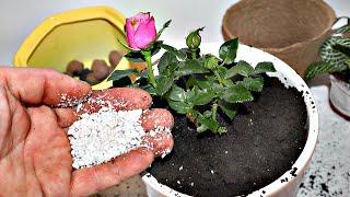 Приживется быстро и сразу зацветет Как правильно посадить домашнюю розу после покупки