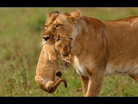 lioness carry her cub to safety youtube
