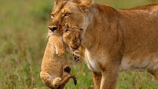 Lioness carry her cub to safety