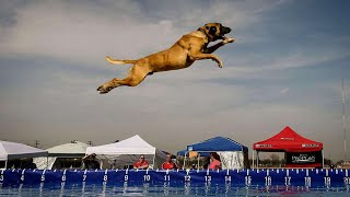 Belgian Shepherd Dog Training | Belgian Malinois Jumping  in Slow Motion video (2020)
