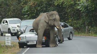 Дикий слон в Таиланде уселся на капот авто (новости)
