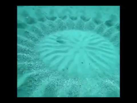 Amazing Little Puffer Fish Creates Ocean Floor Crop Circles