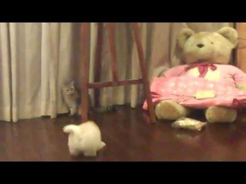 chow chow puppy bobby fight / play with our cat pipi....