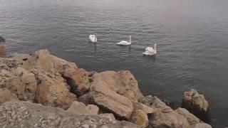 lebede Portul Tomis