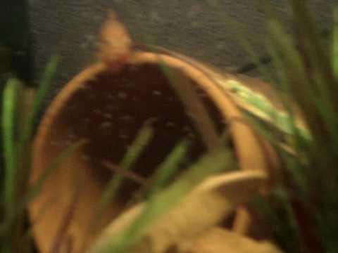 jewel cichlids breeding around other fish 2